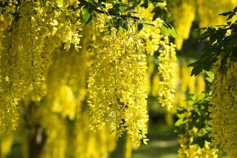 Laburnum on way to Pearl Valley