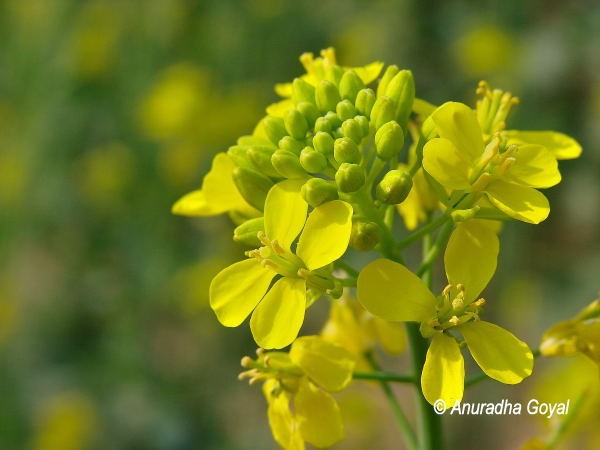 Mustard Flowers enroute to Sultanpur