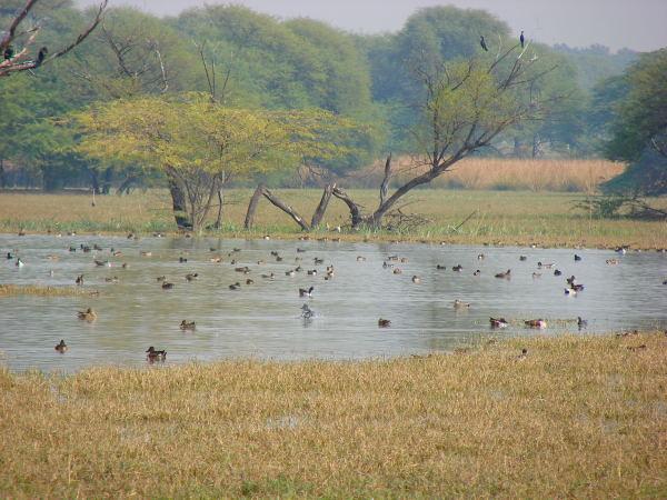 Birds at Sultanpur bird sanctuary