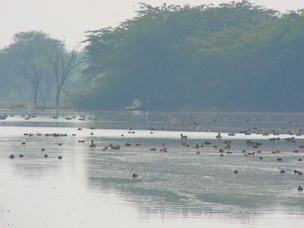 Water birds of Sultanpur bird sanctuary
