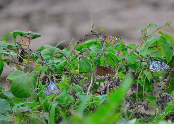 Variety of butterflies nesting near Jayabheri Lake