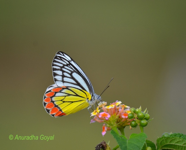 Indian Jezebel Butterfly