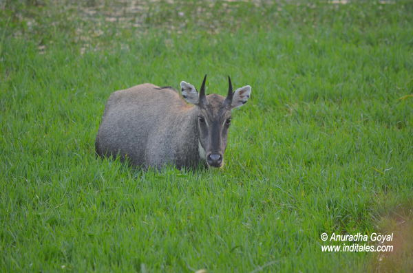 Male Nilgai at Bharatpur Bird Sanctuary