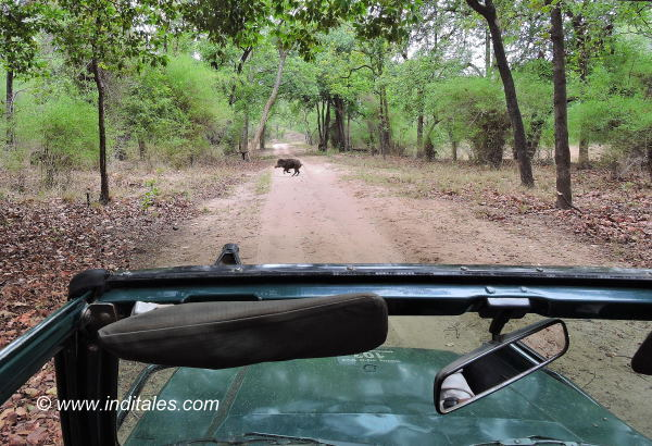 Animals Crossing our paths at Bandhavgarh National Park