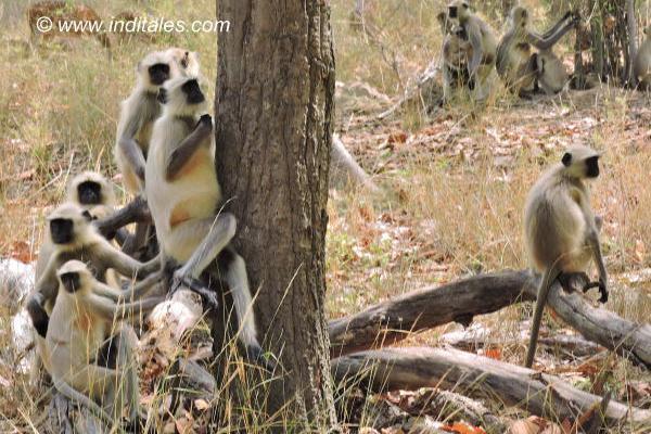 Gray Langurs or Hanuman Langurs, the Black-faced monkeys at Bandhavgarh