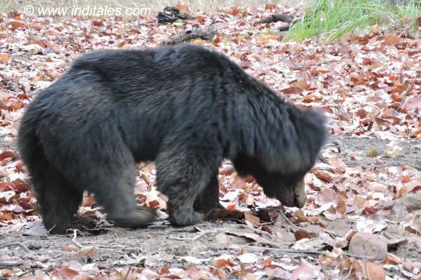Sloth bear busy digging its food at Bandhavgarh National Park