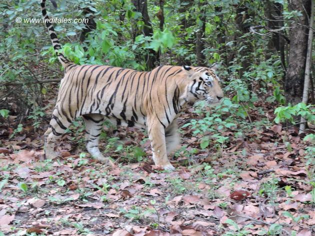 Munna the rock star Tiger marking his territory at Kanha national park