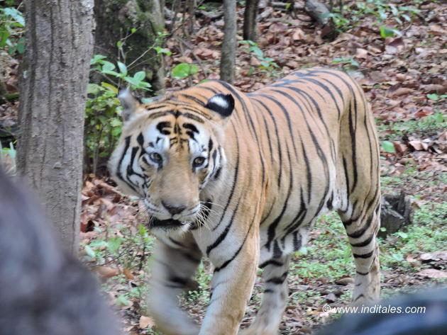 Munna the rock star tiger at Kanha, too close for comfort
