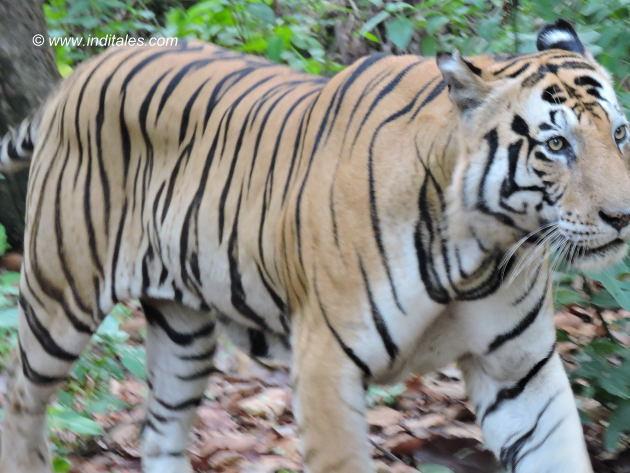 Munna rock star Tiger strolls unmindful of humans