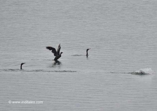 Little Cormorants take-off