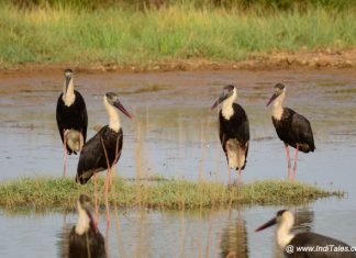 Flock of Woolly-necked Stork