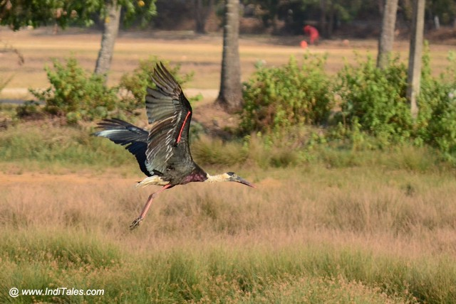 Woolly-necked Stork bird taking off