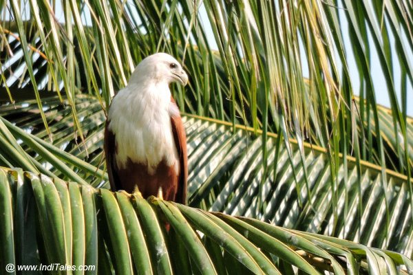 Brahminy Kite atop Coconut tree