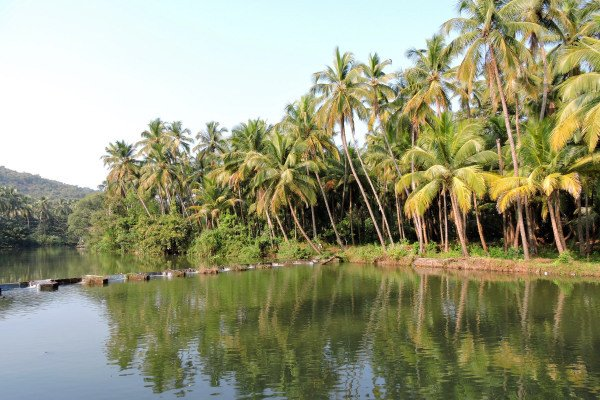 Coconut tree lined river en route to Chorla Ghat, Goa