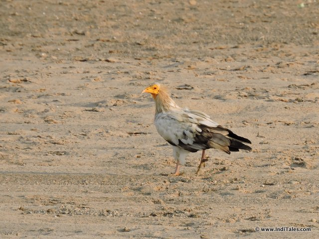 Egyptian Vulture Bird