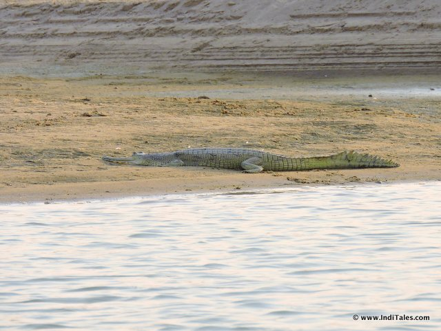 Gharial - lazing on banks of Chambal Nadi