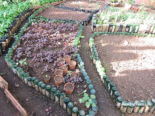 Mustard grows its own greens - an innovative use of empty bottles, Goa