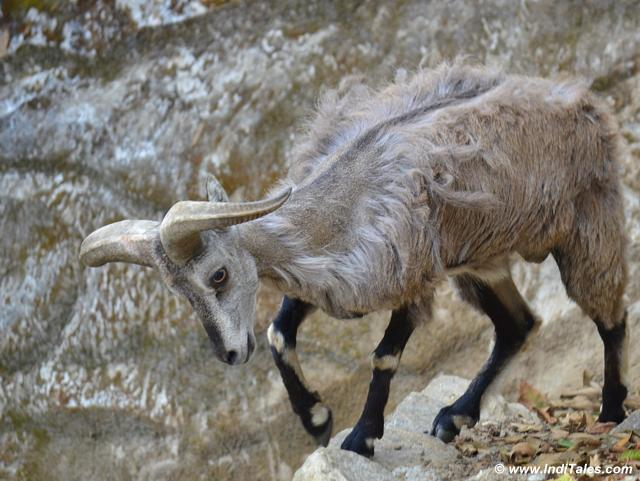 Blue Sheep or Bharals at Darjeeling Zoo