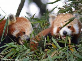 Red Panda's at Padmaja Naidu Himalayan Zoological Park, Darjeeling