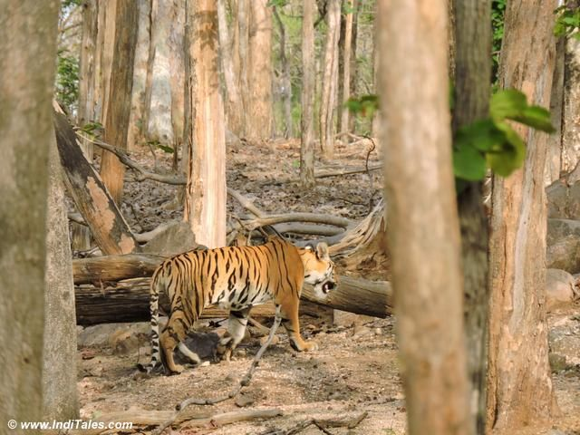 collarwali-tigress-cub-pench-national-park