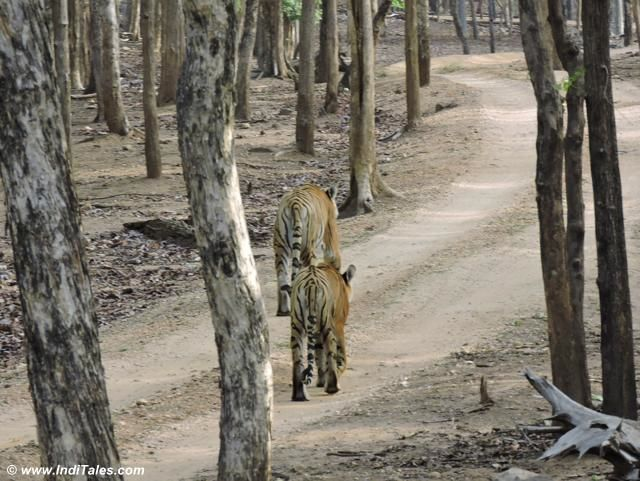 Family of tigers walking in the woods of Pench National Park