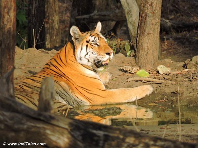 Alert Collarwali Tigress at Pench National Park, Tiger Reserve
