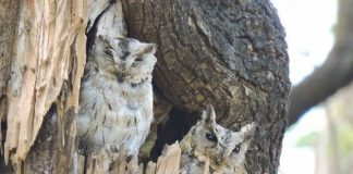 Indian Scops Owl - Birds of Pench National Park