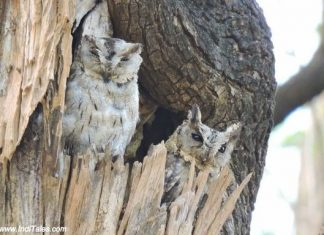 Indian Scops Owl - Birds of Pench National Park