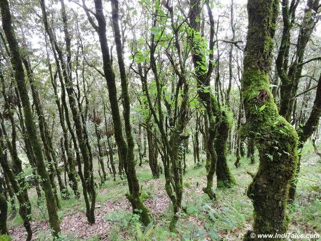 Moss covered oak trees at Jabarkhet Nature Reserve