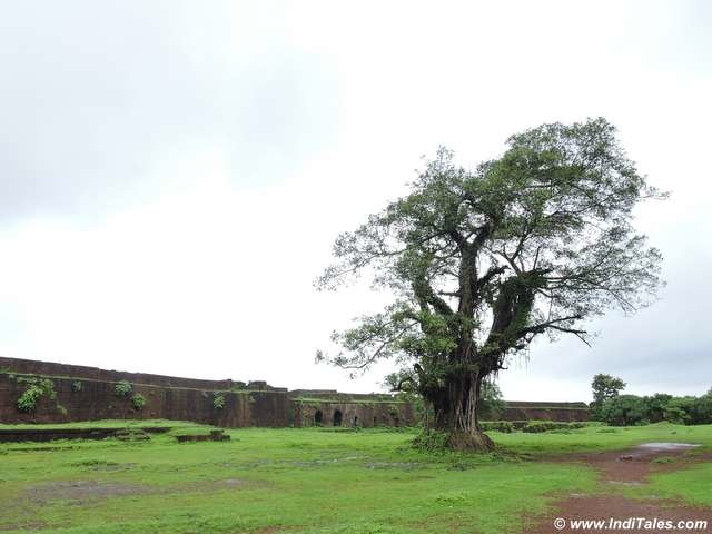 Lone tree in compound of Jaigad Fort
