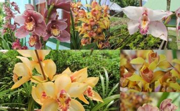 Orchid Flowers at Rinchenpong Sikkim