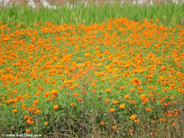 Marigold fields