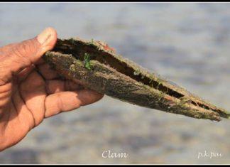 Clam Marine Life