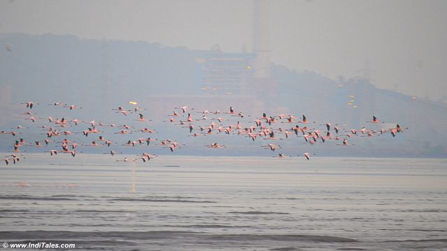 Large number of Lesser Flamingos in flight at Sewri