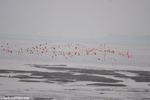 Flamingos in flight at Sewri jetty