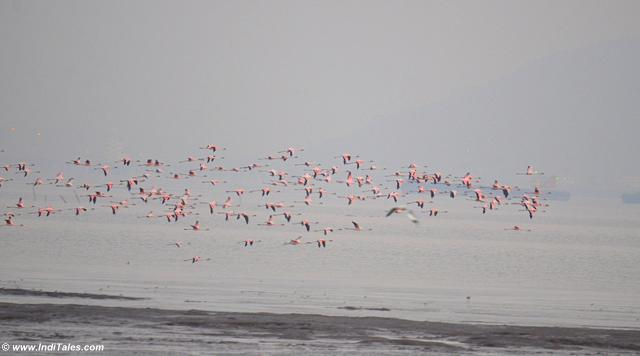 Lesser Flamingos choosing the better spot to feed at low tide