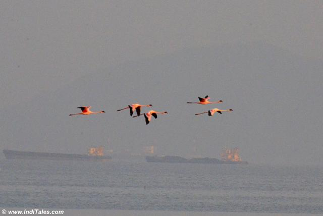 Lesser Flamingos in flight with barges in the background