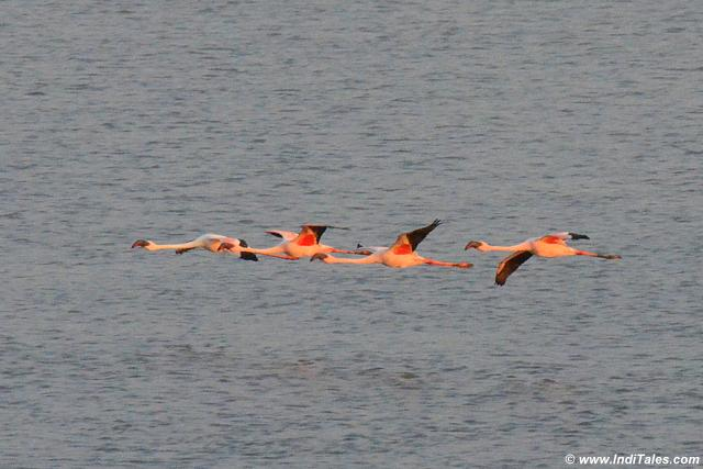 Small group of Lesser Flamingos in flight Sewri