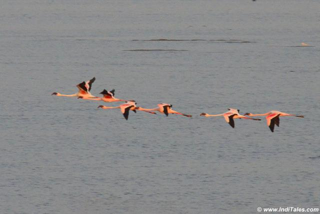 Lesser flamingos in flight, follow the leader