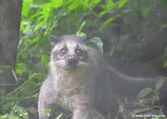 Masked Palm Civet at Himalayan Zoological Park Places to visit in Gangtok