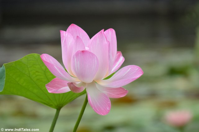 Lotus - The National Flower of India
