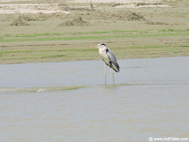 Grey Heron on sand banks of Saryu River, Ayodhya