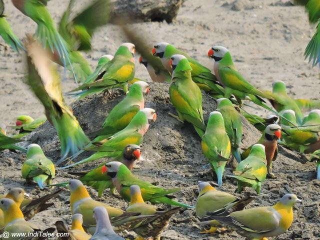 Birds galore - Red-breasted Parakeets & Yellow-footed Pigeons