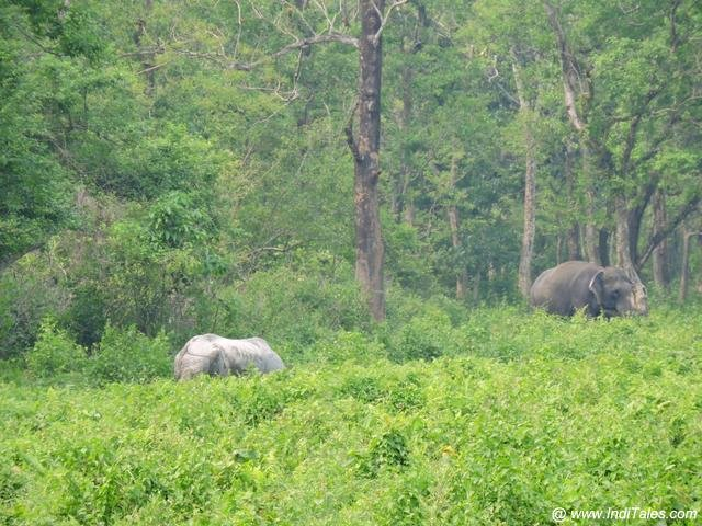 Rhino and Elephant in the jungles at Hollong