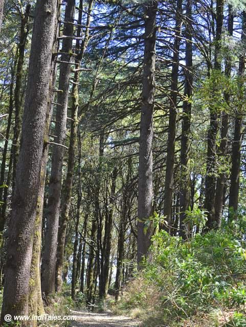 Tall Deodar trees forest