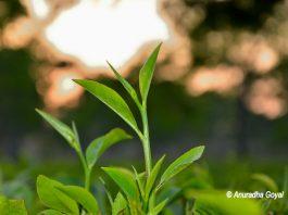 असम चाय की ताज़ा पत्तियां