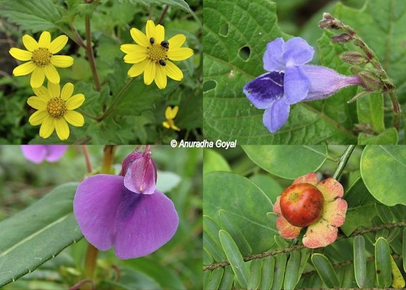 कास पठार - फूलों की घाटी