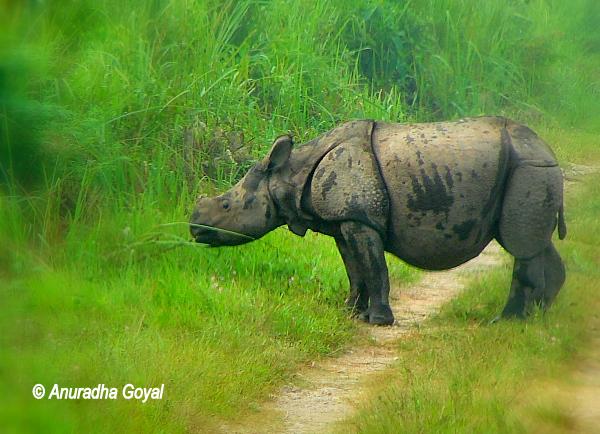 काजीरंगा राष्ट्रीय उद्यान - एक सींघ वाला गैंडा