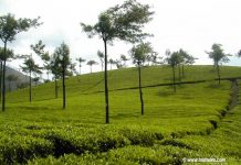 Tea Gardens at Munnar of Popular Kerala
