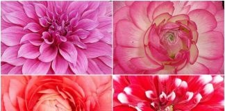 Red Rose, Pink Dahlia, Pink Rose, and Red-white Dahlia flowers at Garden of 5 Senses Delhi